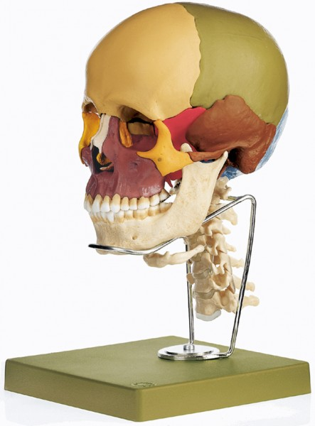 14-Part Coloured Model of the Skull with Cervical Vertebral Column and Hyoid Bone