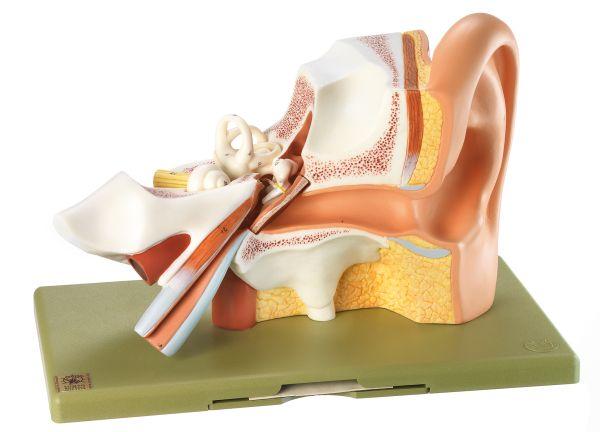 Gehörorgan | Ohrmodelle | Ohr | Sinnesorgane | Anatomische SOMSO ...
