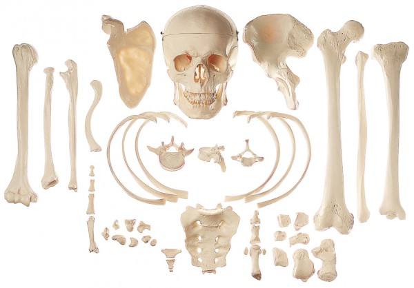 Collection of Typical Human Bones