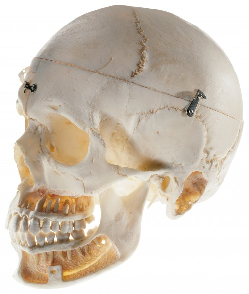 Artificial Skull of an Adult