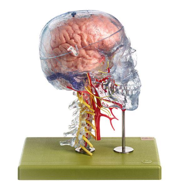 Neuroanatomie-Kopfmodell