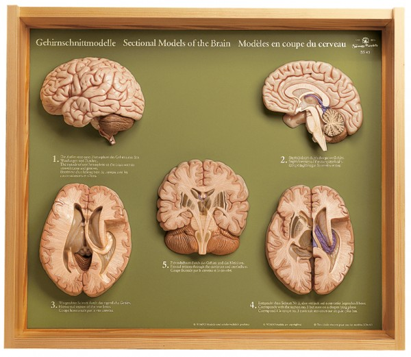 5 Section Models of the Brain
