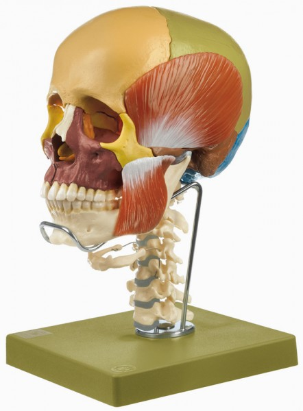 18-Part Coloured Model of the Skull with Cervical Vertebral Column, Hyoid Bone and Muscles of Mastic