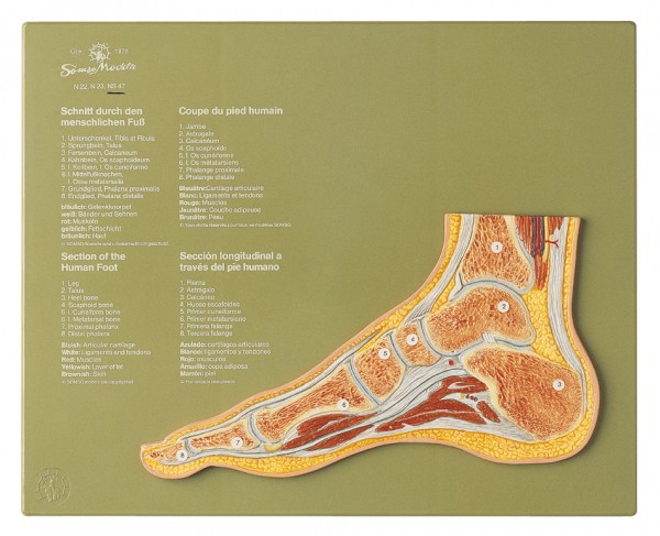 Section through a Normal Foot
