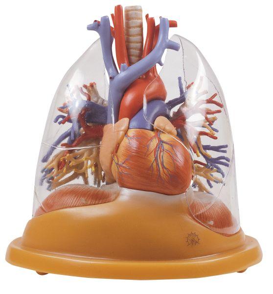 Herz-Lungen Tischmodell