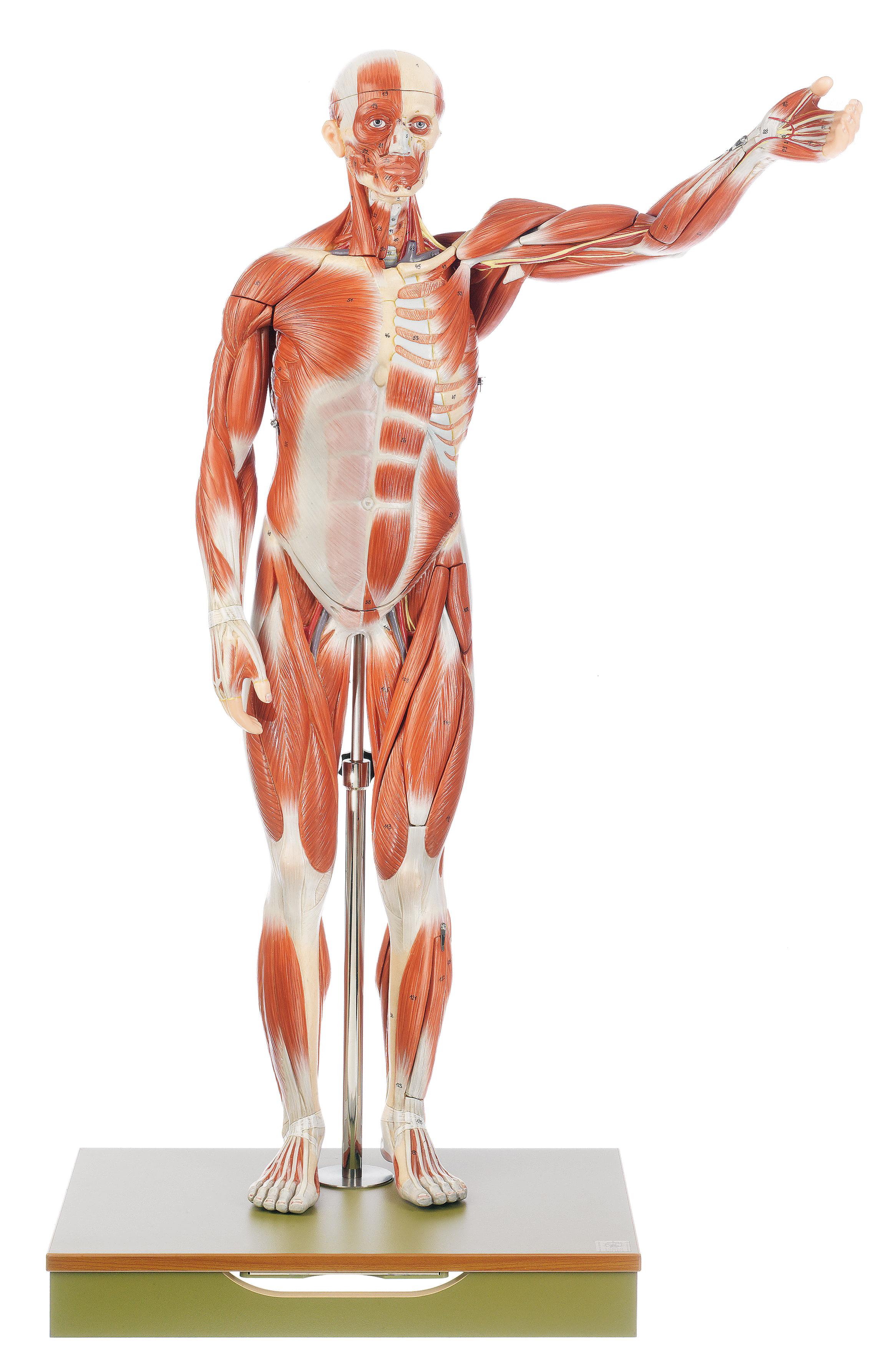 Männliche Muskelfigur | Muskelfiguren | Figuren / Torsen ...
