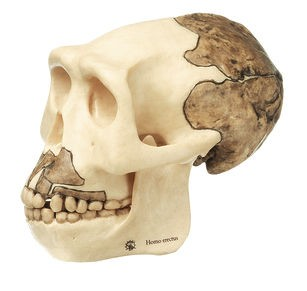 Reconstruction of the Skull of Homo erectus