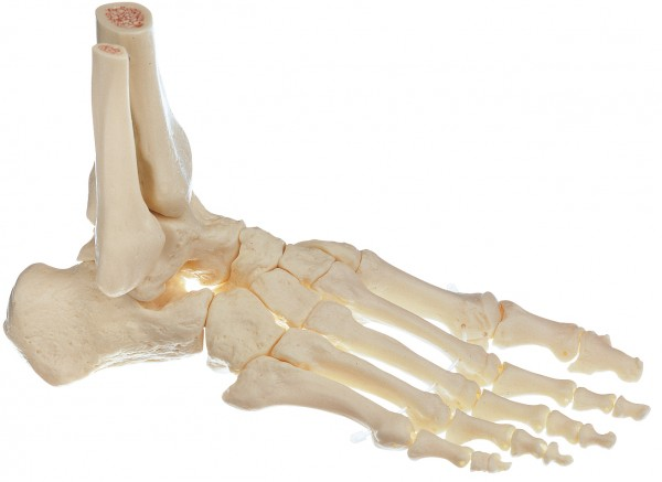 Skeleton of the Foot, Right (Movable Joints)