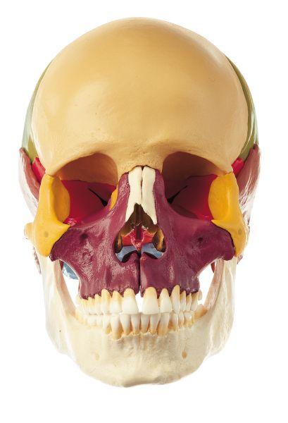 18-Part Coloured Model of the Skull