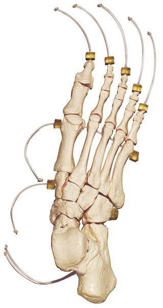 Skeleton of the Foot on Nylon