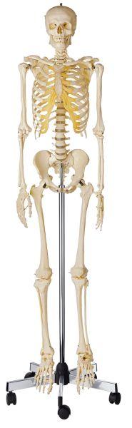 Artificial Human Skeleton, male