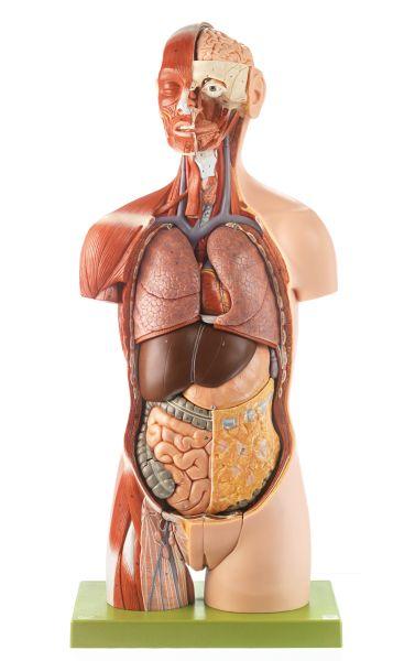 Muskeltorso mit Kopf, geöffnetem Rücken und austauschbaren Geschlechtsorganen