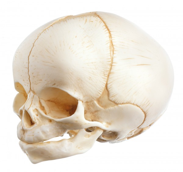 Artificial Skull of a Newborn