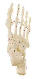 Skeleton of the Foot (Mounted on Wire)
