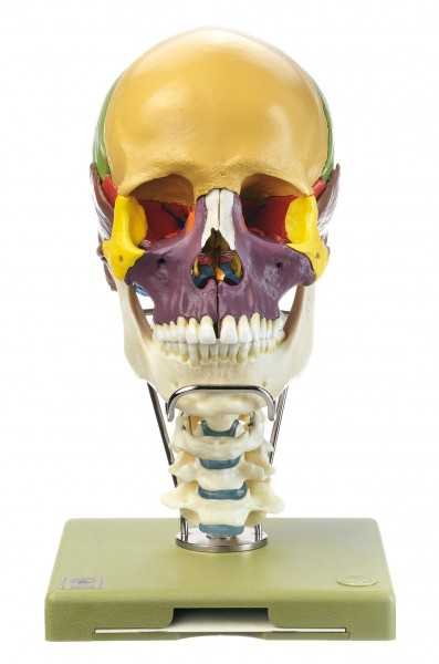 18-Part Coloured Model of the Skull with Cervical Vertebral Column and Hyoid Bone