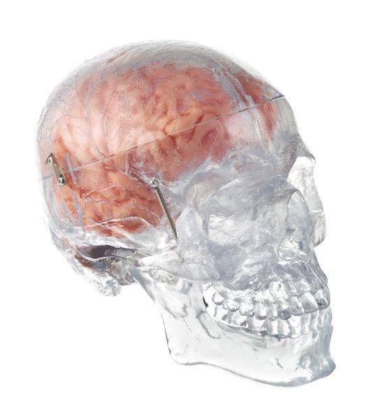 Künstl. transparenter männlicher Homo-Schädel mit 8teiligem Gehirn
