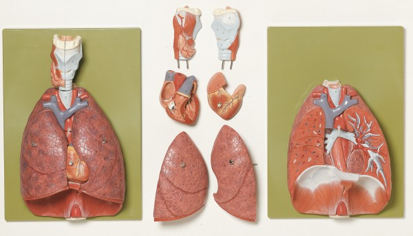 Lungs with Heart, Diaphragm and Larynx