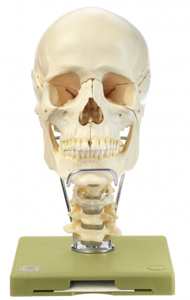 18-Part Model of the Skull with Cervical Vertebral Column and Hyoid Bone