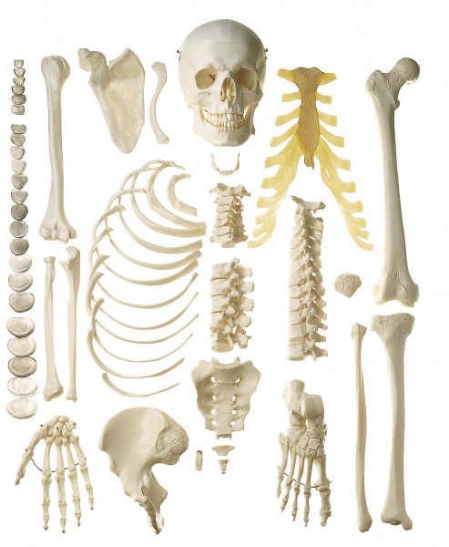 Unmontiertes halbes Homo-Skelett, weiblich