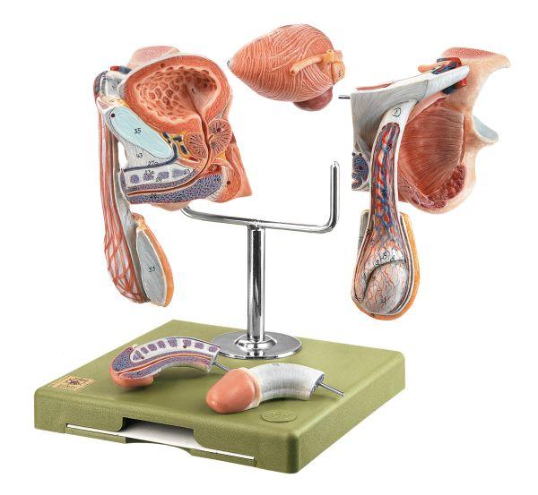 Male Genital Organs Male Pelvis Pelvis Anatomical Somso