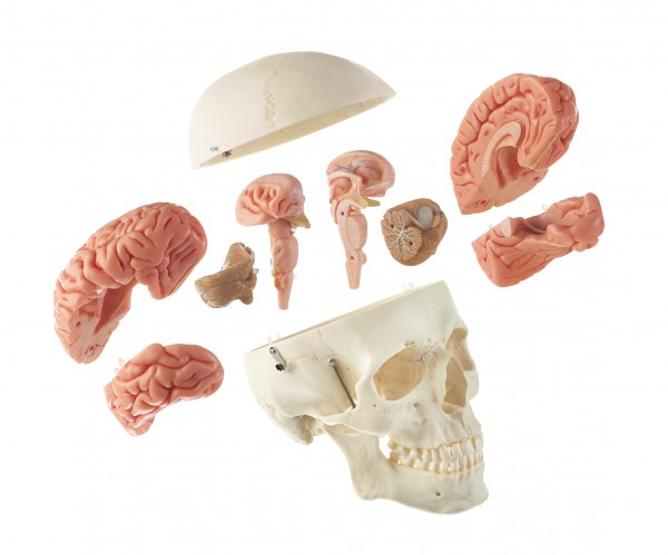 Artificial Human Skull with Brain Model