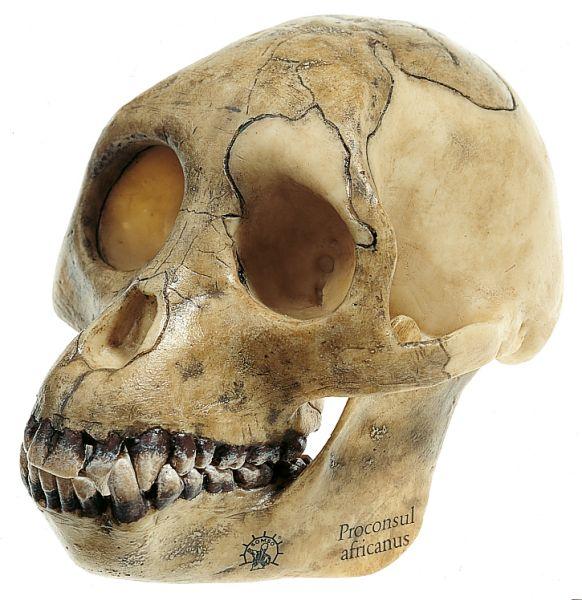 Reconstruction of the Skull of Proconsul africanus